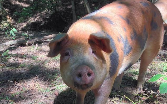 Pig roaming in a pasture