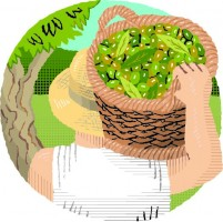 Illustration of a person with a basket of freshly picked olives balanced on their shoulder.
